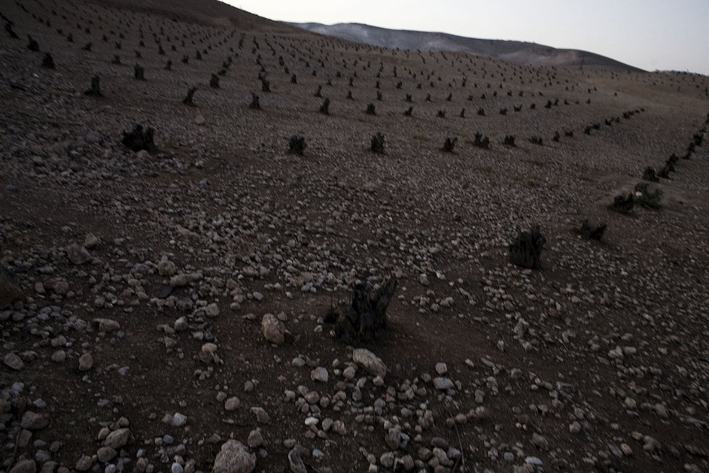 Palestinian olive trees cut by the Israeli military for security reasons